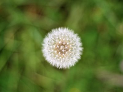 פרח הסביון