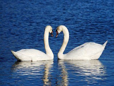 swans_300_400